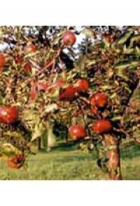 Öpfel-Fondue